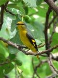 Uccello del pepe della montagna Immagini Stock