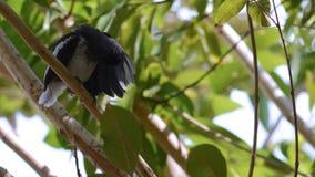 Uccello del pettirosso della gazza che pulisce la sua ala immagini stock libere da diritti