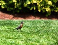 Uccello del pettirosso del genitore che riunisce i vermi per l'alimentazione della sua prole immagine stock libera da diritti