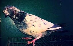 Uccello del piccione fotografia stock
