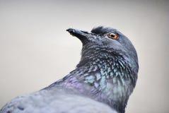 Uccello del piccione Fotografie Stock Libere da Diritti