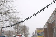 Uccello del piccione Immagine Stock Libera da Diritti