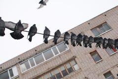 Uccello del piccione Immagini Stock