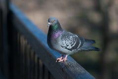 Uccello del piccione Immagini Stock Libere da Diritti