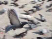 Uccello del piccione di libertà di volo nel moto Immagini Stock