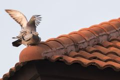 Uccello del piccione viaggiatore che si accoppia sul tetto domestico Immagine Stock