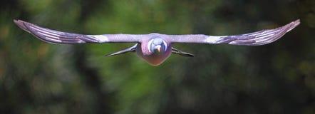 Uccello del piccione in volo immagini stock libere da diritti