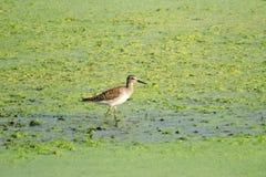 Uccello del piovanello Fotografia Stock