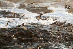 Uccello del piovanello maculato, costa della Costa Rica Fotografia Stock