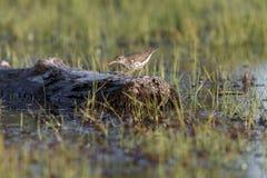Uccello del piovanello maculato fotografia stock libera da diritti