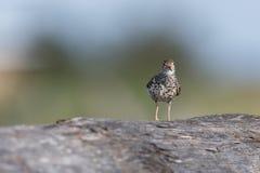 Uccello del piovanello maculato immagine stock