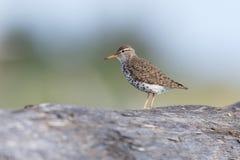 Uccello del piovanello maculato immagini stock