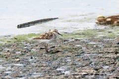 Uccello del piovanello occidentale Fotografia Stock