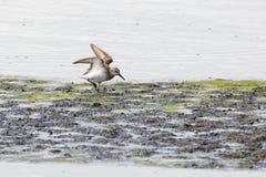 Uccello del piovanello occidentale Immagine Stock Libera da Diritti