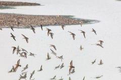 Uccello del piovanello occidentale Fotografie Stock Libere da Diritti