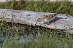 Uccello del piro-piro pettorale fotografia stock libera da diritti
