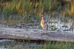 Uccello del piro-piro pettorale immagine stock libera da diritti