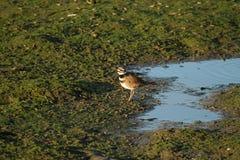 Uccello del piviere Fotografia Stock