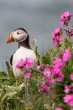 Uccello del puffino Fotografie Stock Libere da Diritti