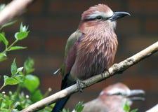 Uccello del rullo Fotografie Stock Libere da Diritti