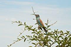 Uccello del rullo breasted viola Fotografie Stock Libere da Diritti