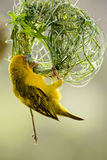 Uccello del tessitore Fotografia Stock