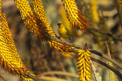 Uccello del tessitore del capo sul ferox dell'aloe Fotografia Stock
