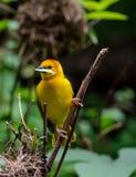 Uccello del tessitore di Taveta Immagini Stock Libere da Diritti