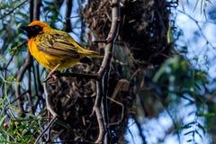 Uccello del tessitore in masai Mara Immagini Stock