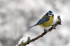 Uccello del Tit fotografia stock libera da diritti