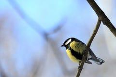 Uccello del Titmouse Fotografia Stock Libera da Diritti