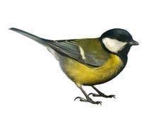 Uccello del Titmouse, isolato su bianco Fotografia Stock Libera da Diritti
