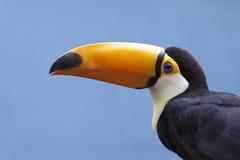 Uccello del tucano Fotografie Stock