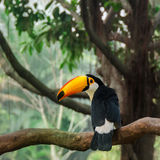 Uccello del tucano sull'albero tropicale Fotografie Stock