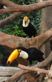 Uccello del tucano sull'albero tropicale Fotografia Stock