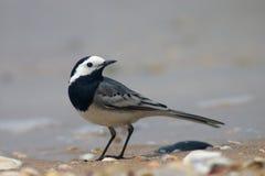 Uccello del Wagtail Fotografie Stock Libere da Diritti