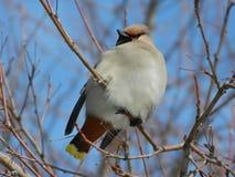 Uccello del Waxwing fotografie stock libere da diritti
