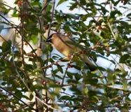 Uccello del Waxwing Immagini Stock Libere da Diritti