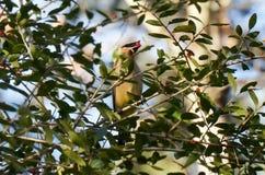 Uccello del Waxwing Fotografia Stock Libera da Diritti