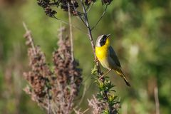 Uccello del Yellowthroat comune fotografia stock