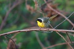 Uccello del Yellowthroat comune immagine stock