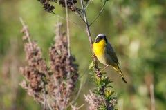 Uccello del Yellowthroat comune fotografie stock libere da diritti