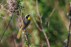 Uccello del Yellowthroat comune fotografia stock libera da diritti