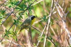 Uccello del Yellowthroat comune immagine stock libera da diritti