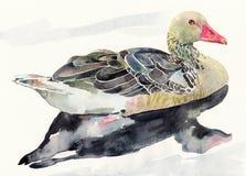 Uccello dell'acquerello di tiraggio della mano, ducked Fotografie Stock Libere da Diritti