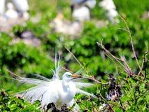 Uccello dell'airone bianco maggiore in piume di allevamento Fotografia Stock