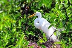Uccello dell'airone bianco maggiore in piume di allevamento Fotografia Stock Libera da Diritti