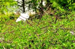 Uccello dell'airone bianco maggiore in piume di allevamento, Florida Immagine Stock