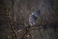 Uccello dell'airone cenerino con le ali aperte Fotografia Stock Libera da Diritti