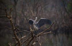 Uccello dell'airone cenerino con le ali spante Fotografia Stock Libera da Diritti